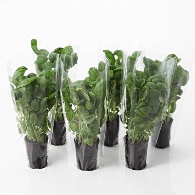 【ネット限定】ハーブ野菜 H 6鉢セット