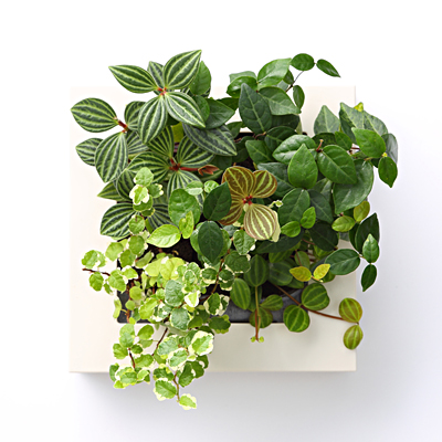 【店舗限定】壁にかけられる観葉植物 16×16cm D