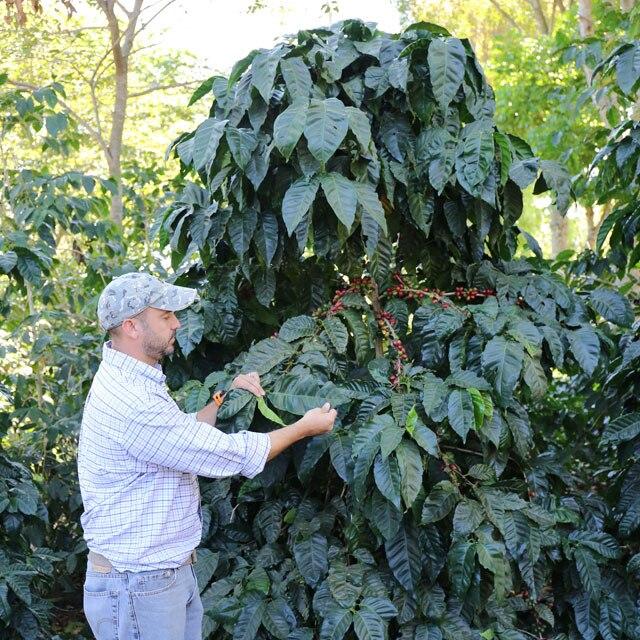 コーヒーの木/栽培風景