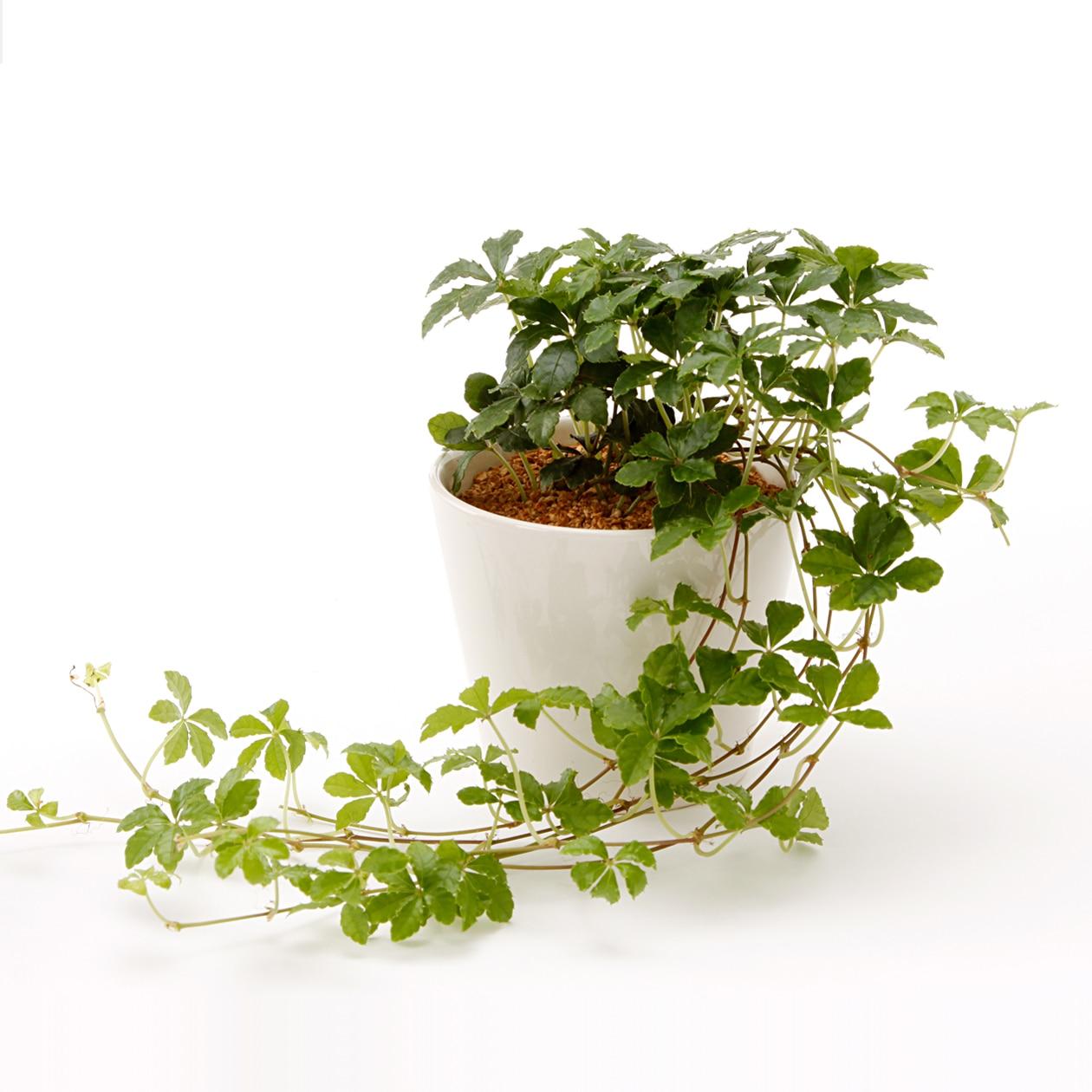 【ネット限定】リサイクルテラコッタに植えた観葉植物 シュガーバインの写真