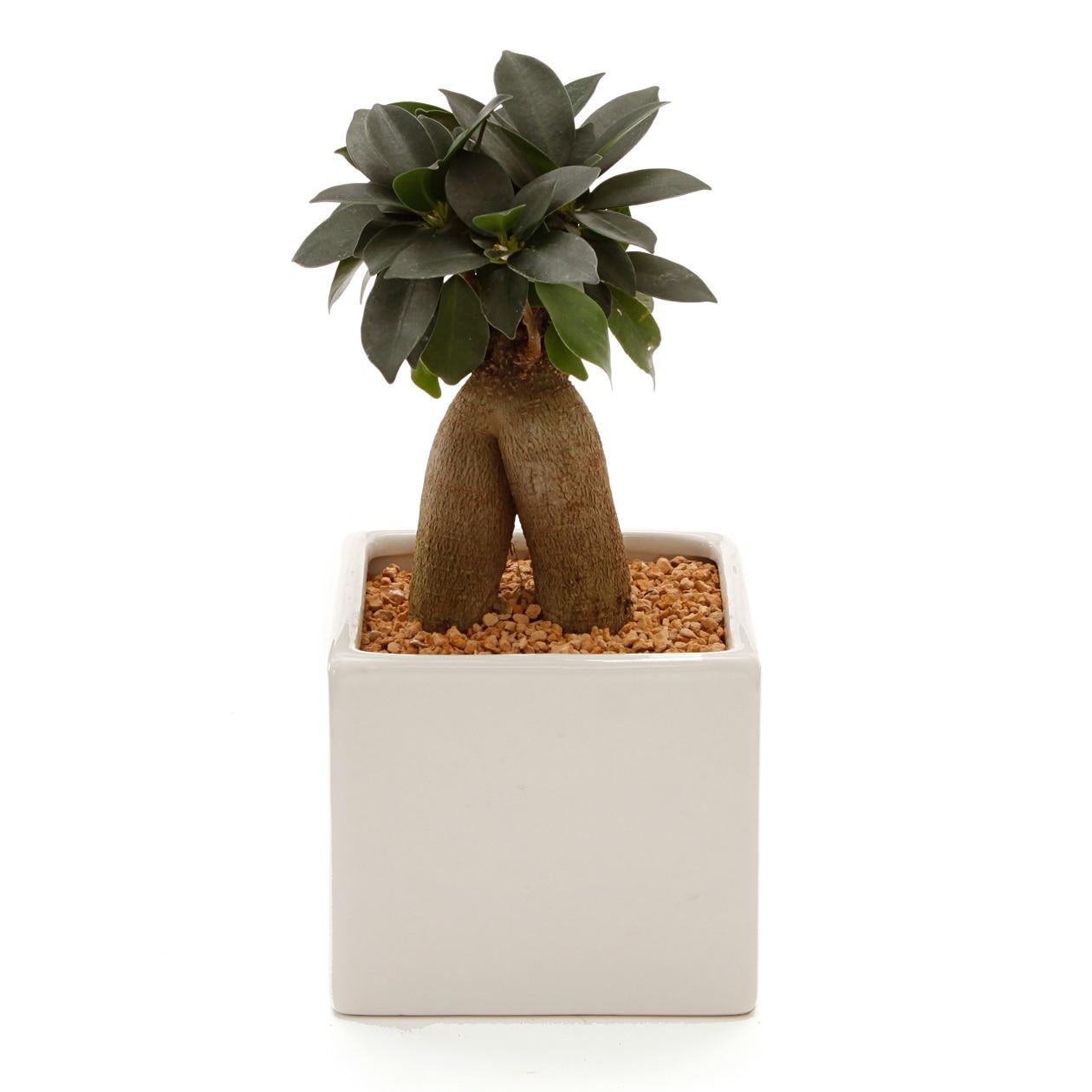 【ネット限定】リサイクルテラコッタに植えた観葉植物 ガジュマルの写真