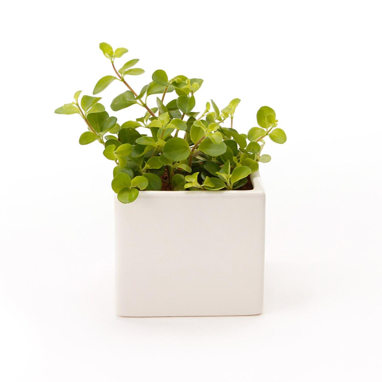 【ネット限定】リサイクルテラコッタに植えた観葉植物 ロタンディフォーリア