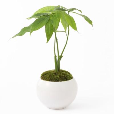 RoomClip商品情報 - 【ネット限定】盆栽 パキラ