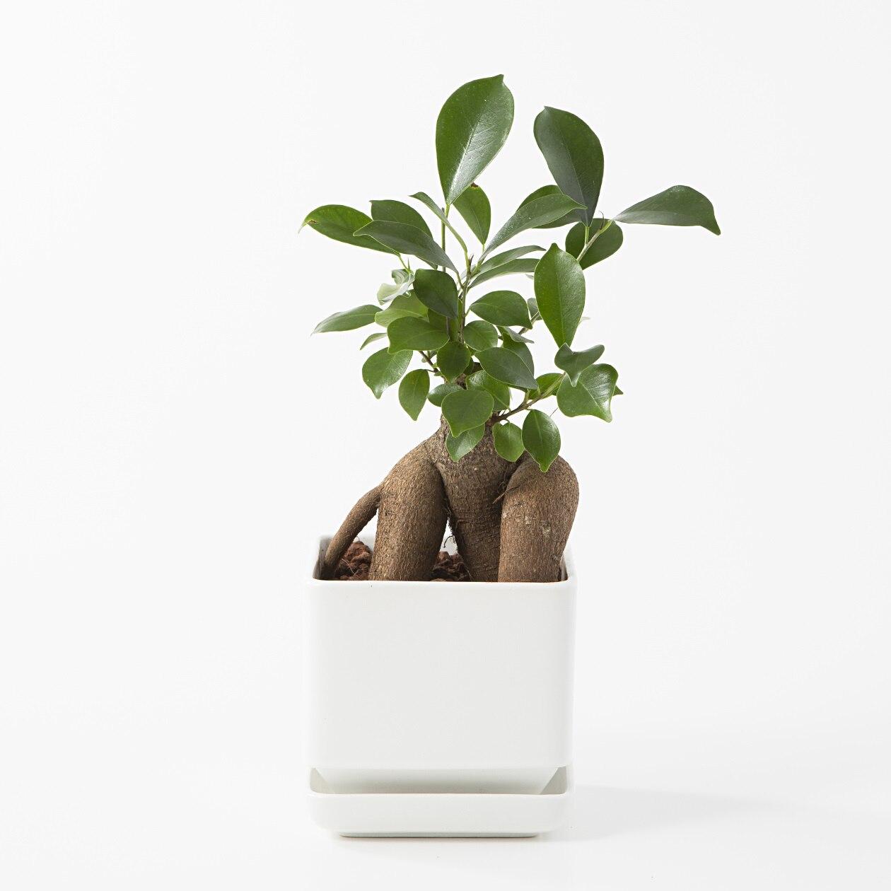 【ネット限定】瀬戸焼の鉢 ガジュマル 4号