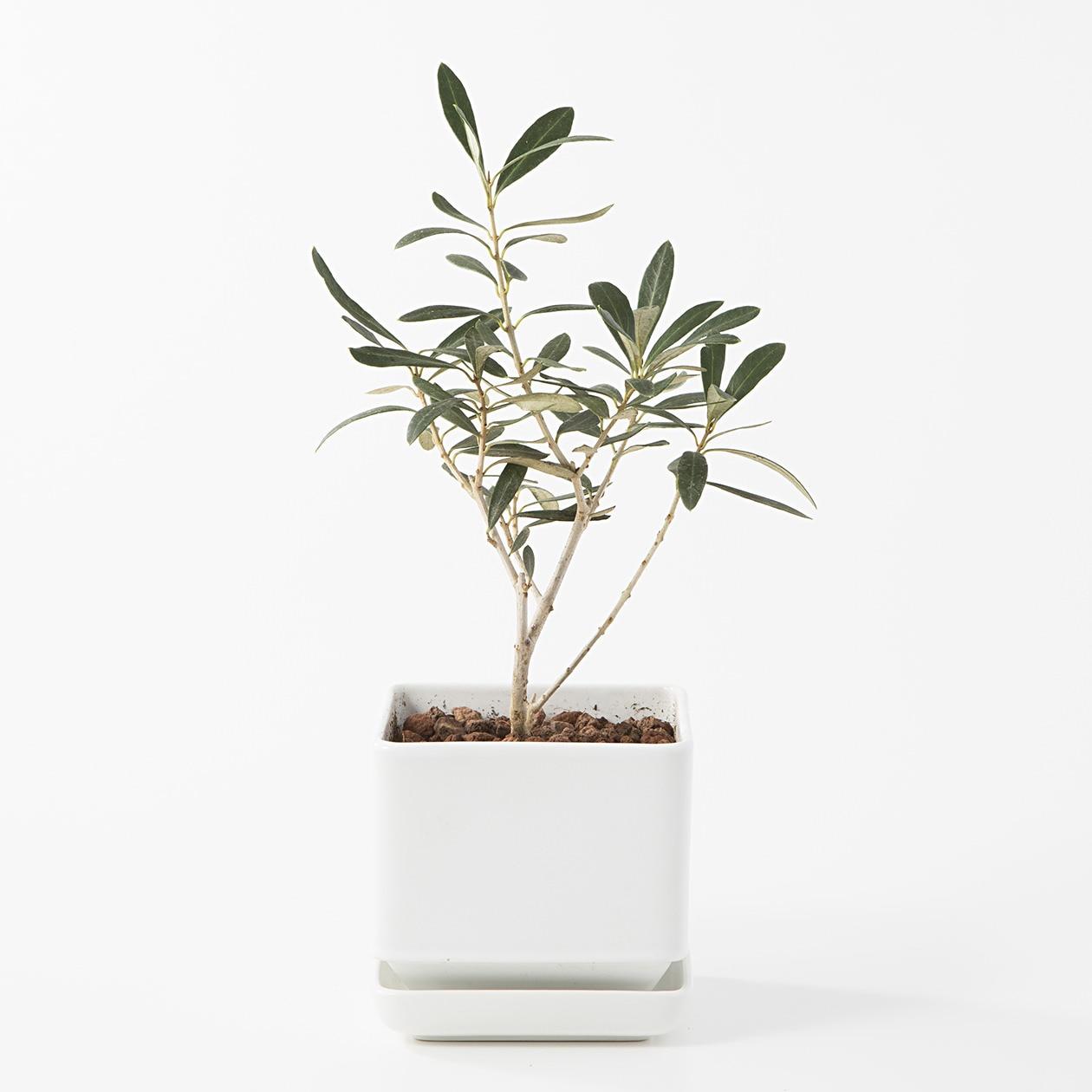 【ネット限定】瀬戸焼の鉢 オリーブ 4号