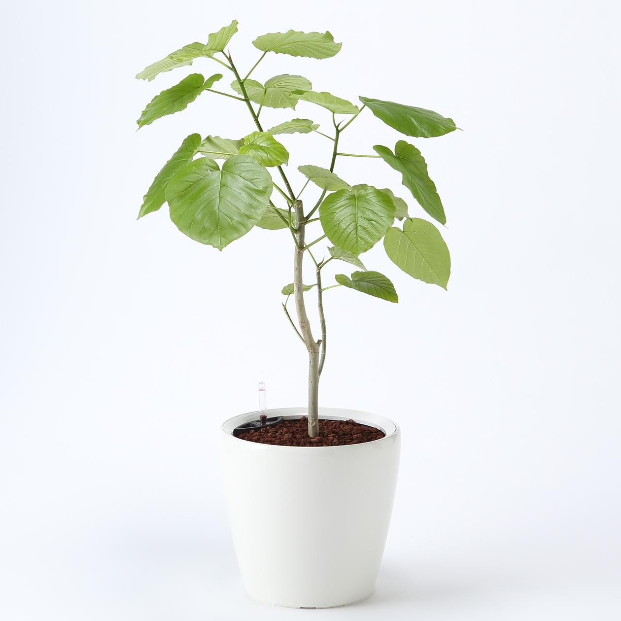 【ネット限定】レチューザに植えたウンベラータ