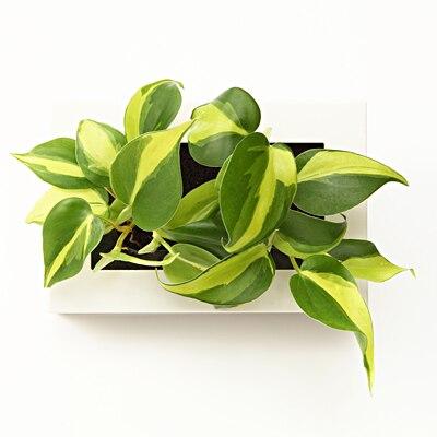 【店舗限定】壁にかけられる観葉植物 15×10cm