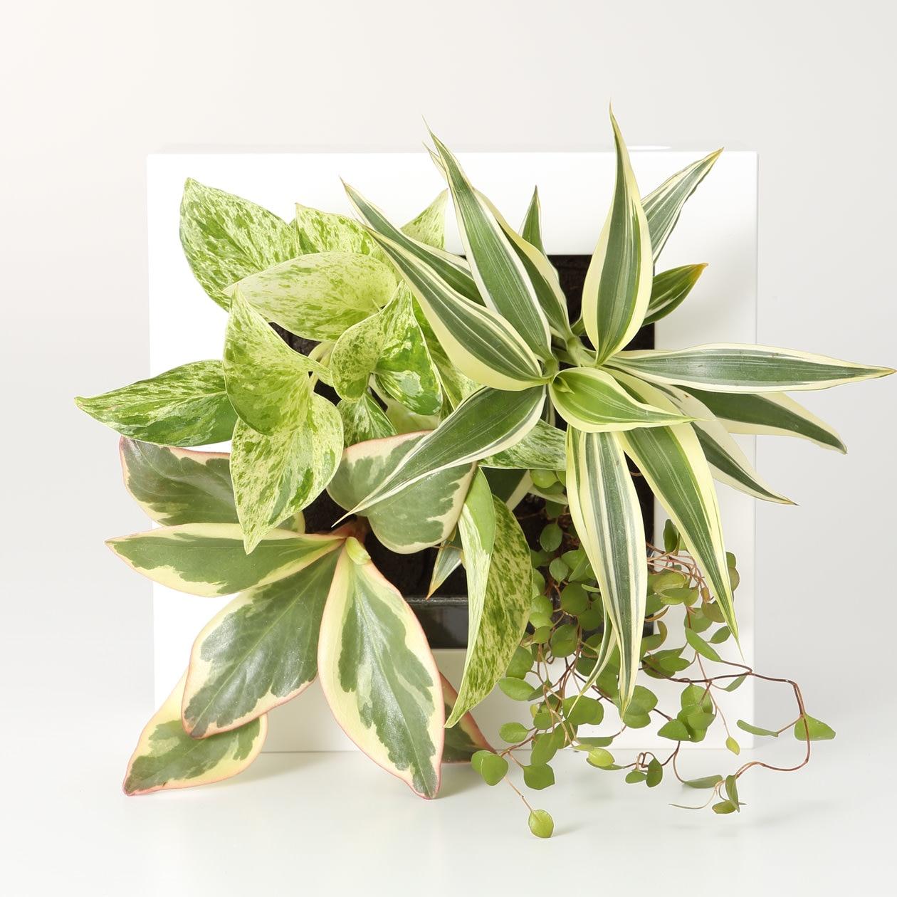 壁にかけられる観葉植物 16×16cmの写真