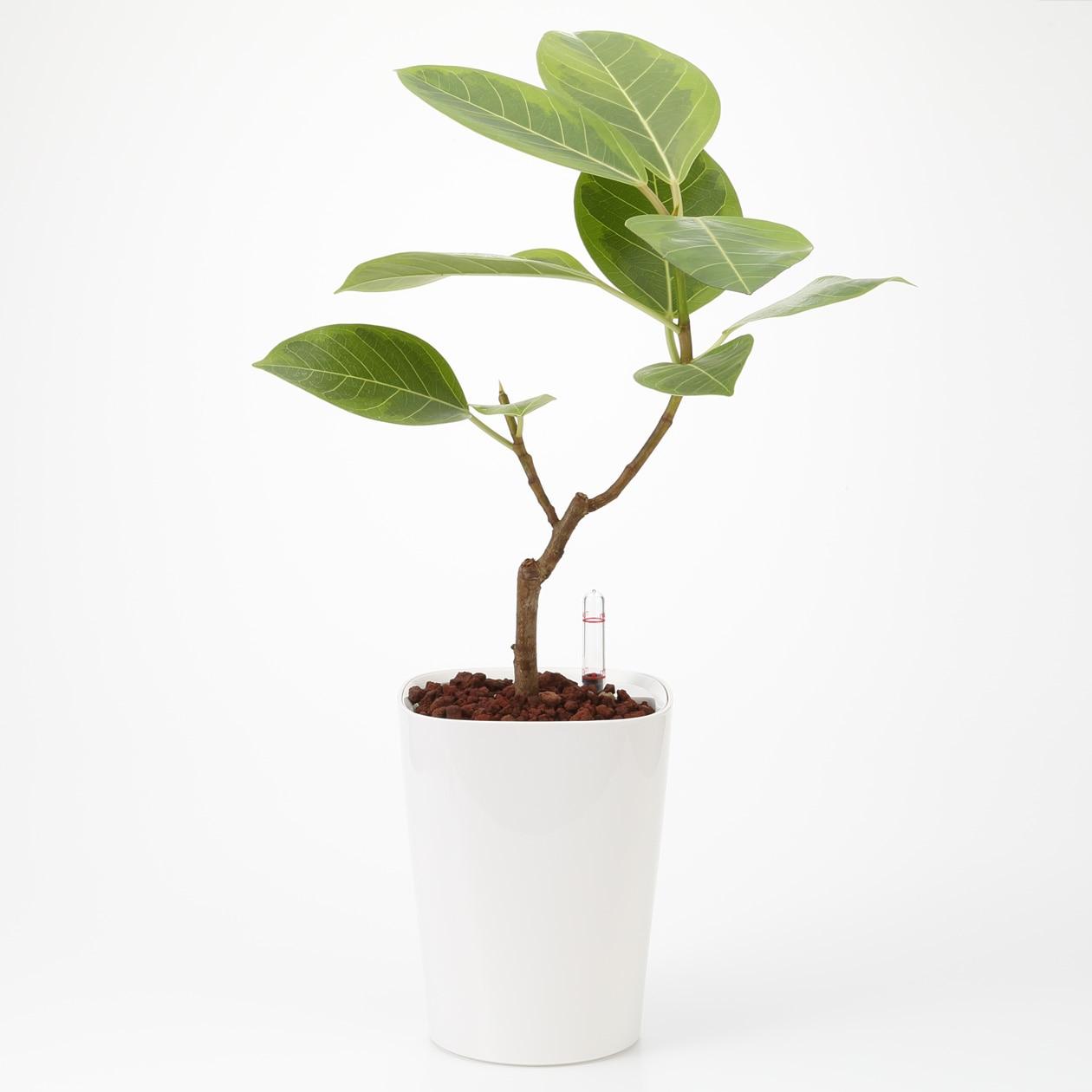 【ネット限定】レチューザに植えたアルテシマ