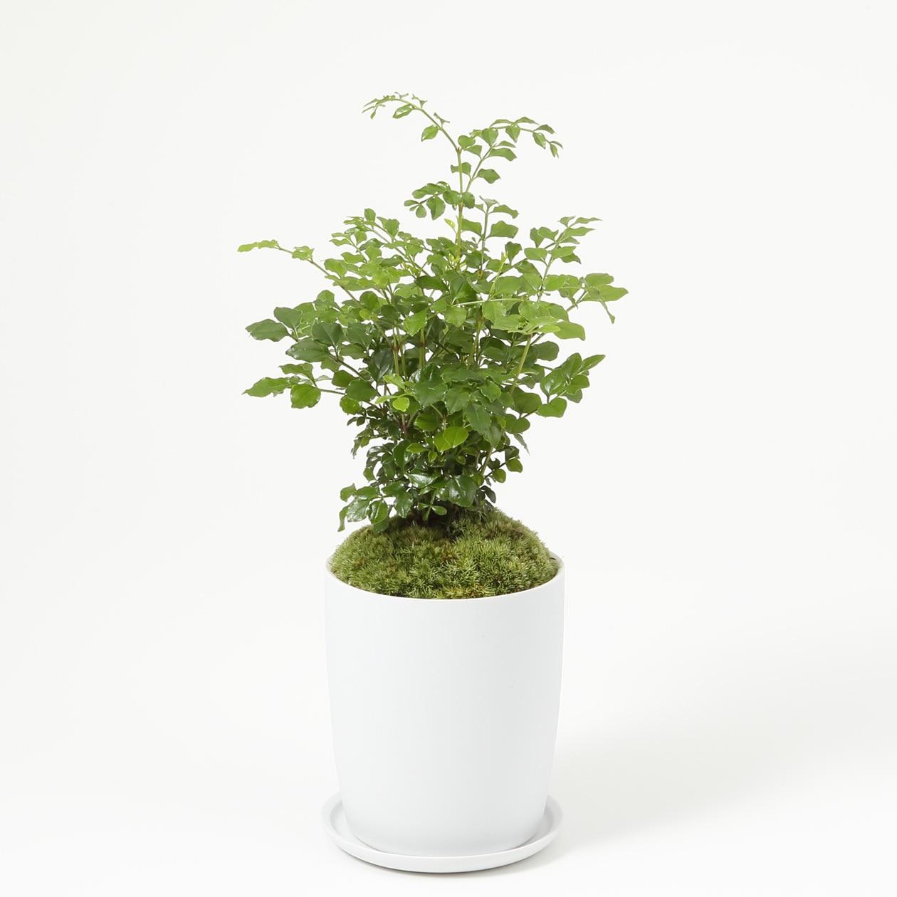 【ネット限定】盆栽 トネリコ
