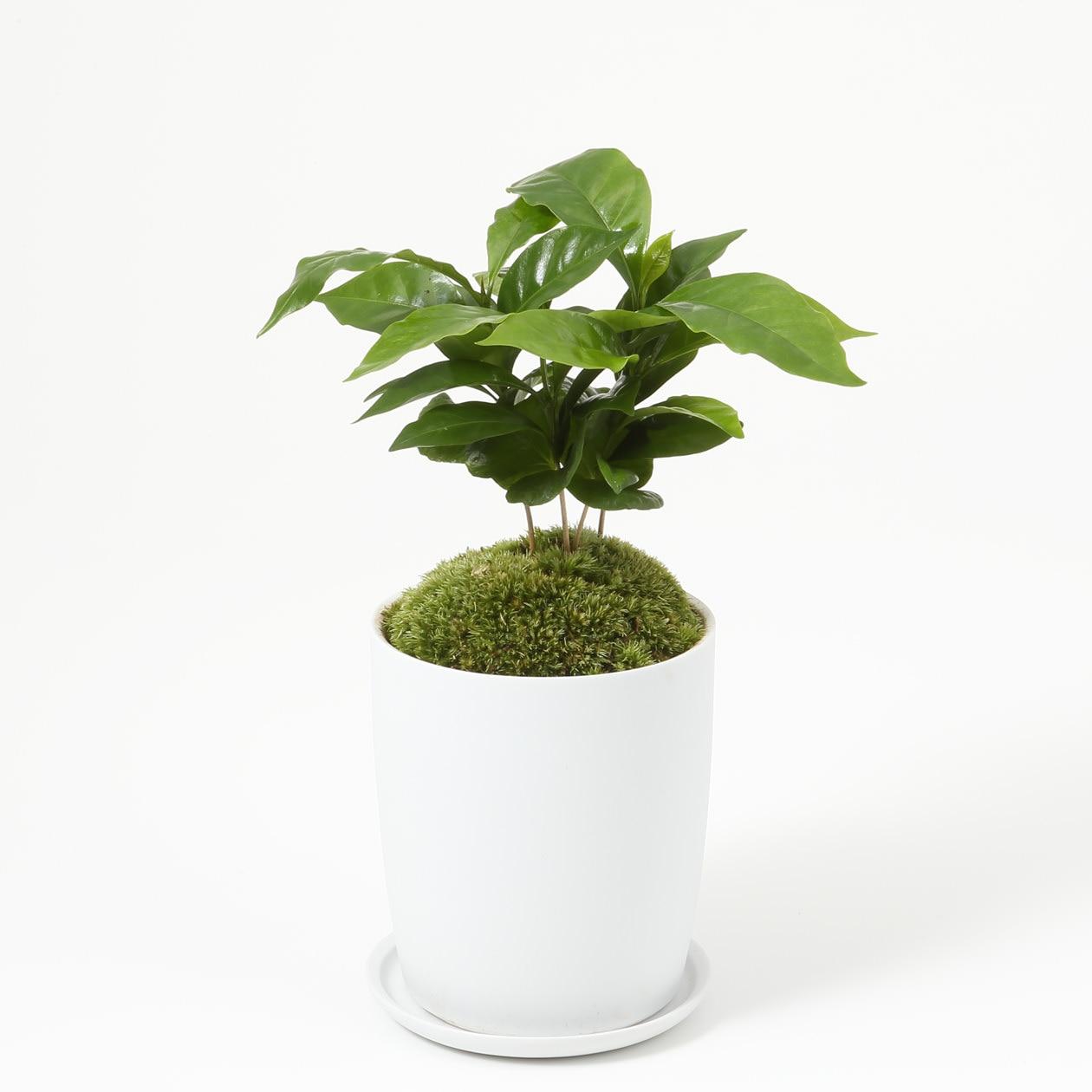 【ネット限定】盆栽 コーヒーの木