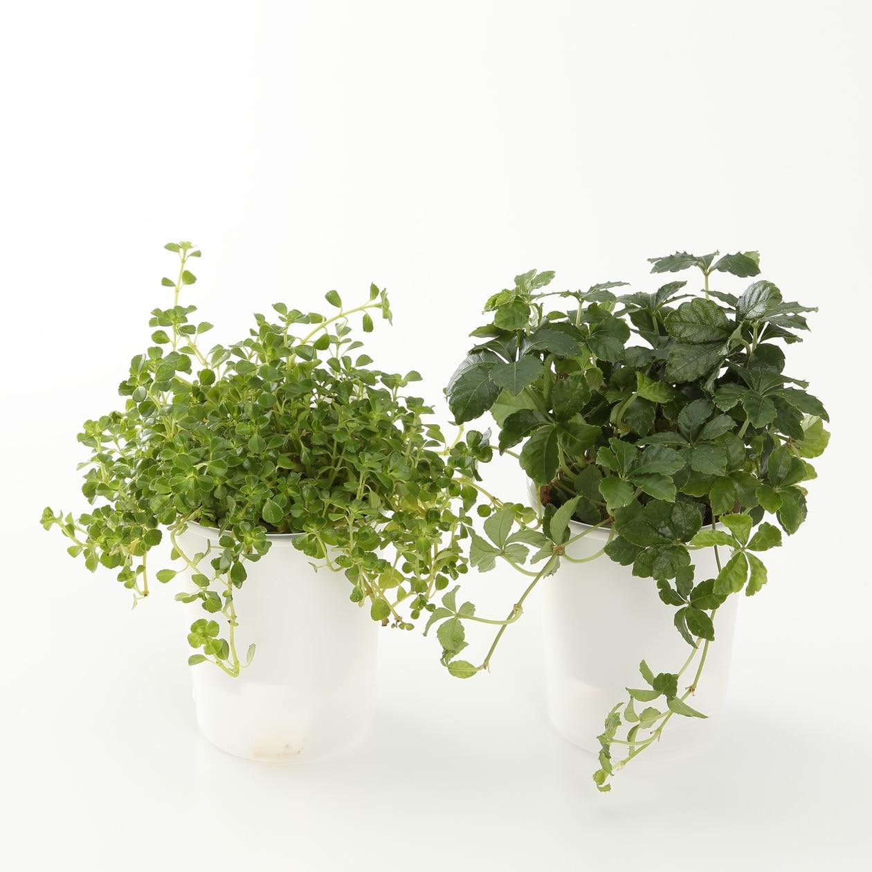 【まとめ買い】底面給水鉢の観葉植物・3号