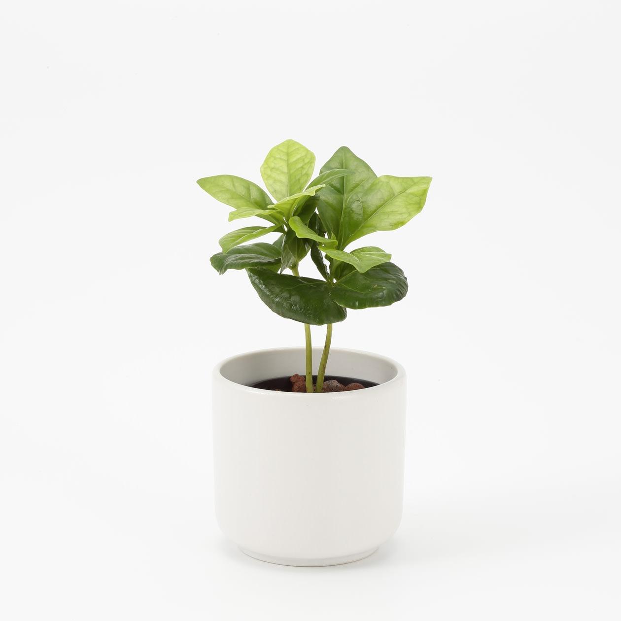 瀬戸焼の鉢 コーヒーの木 2号