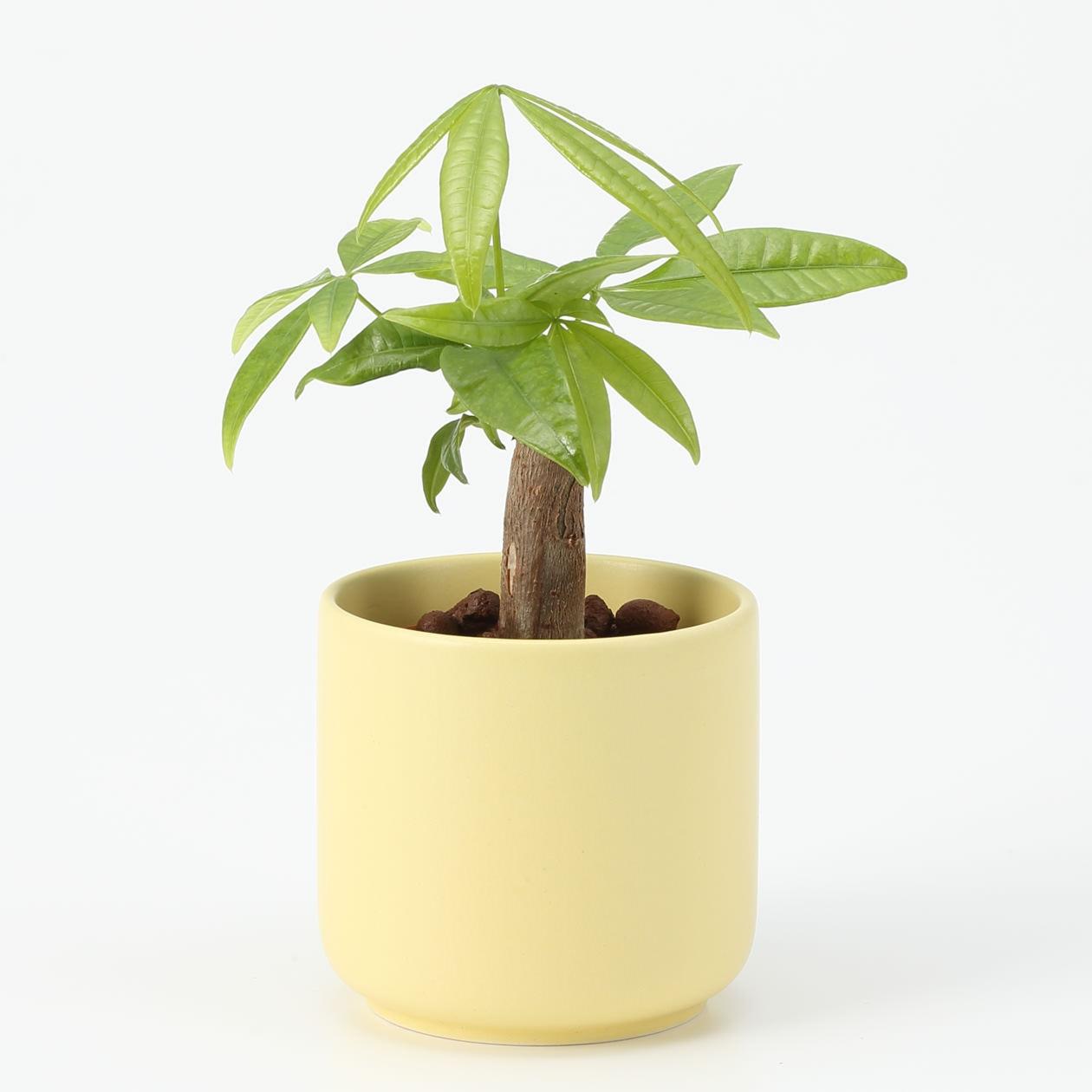 【ネット限定】瀬戸焼の鉢 パキラ 2.5号