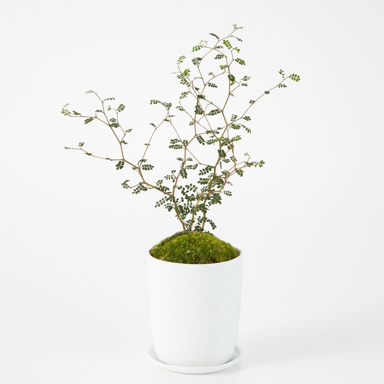 【ネット限定】盆栽 ソフォラ