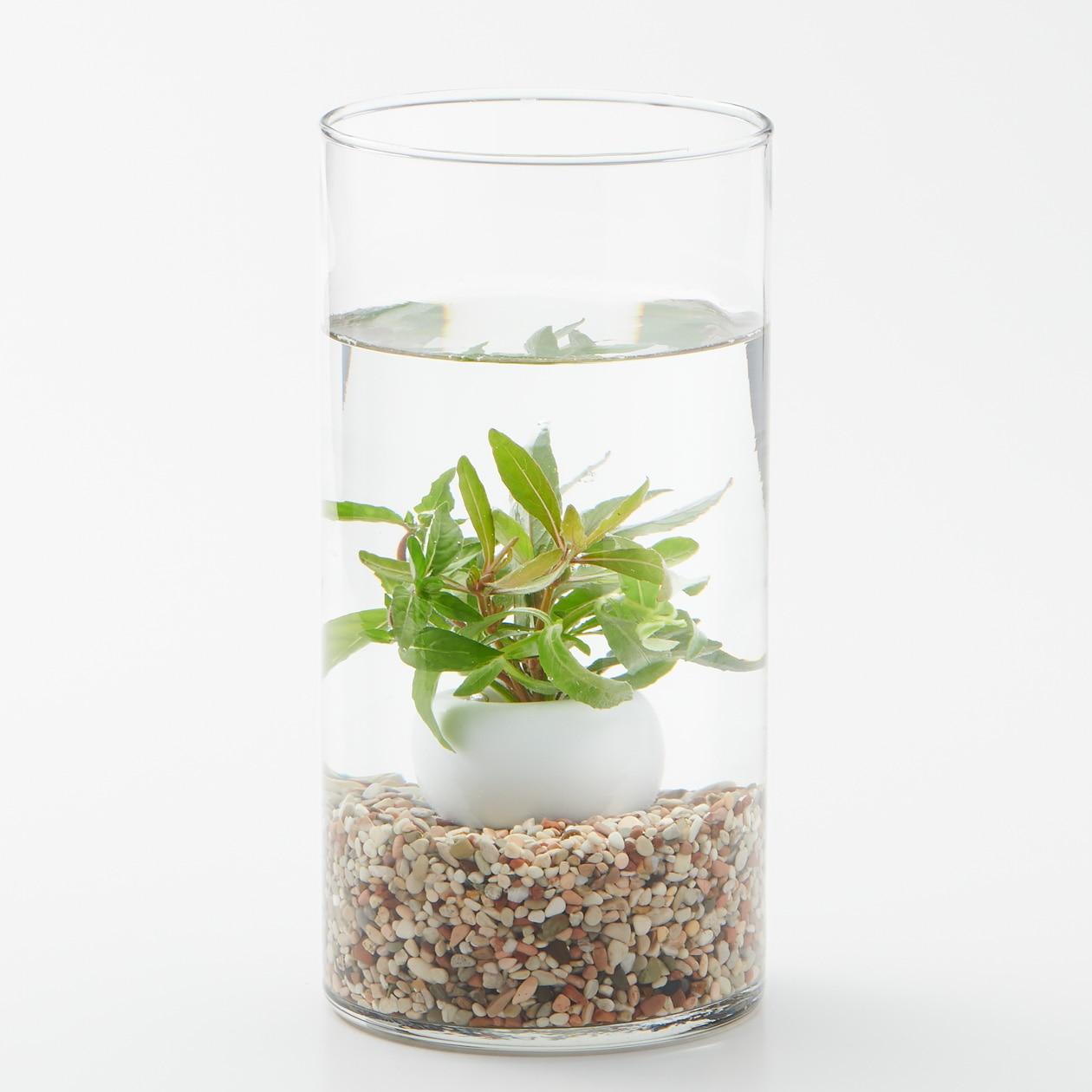 【ネット限定】水中の植物とガラスベースセット ハイグロミックス