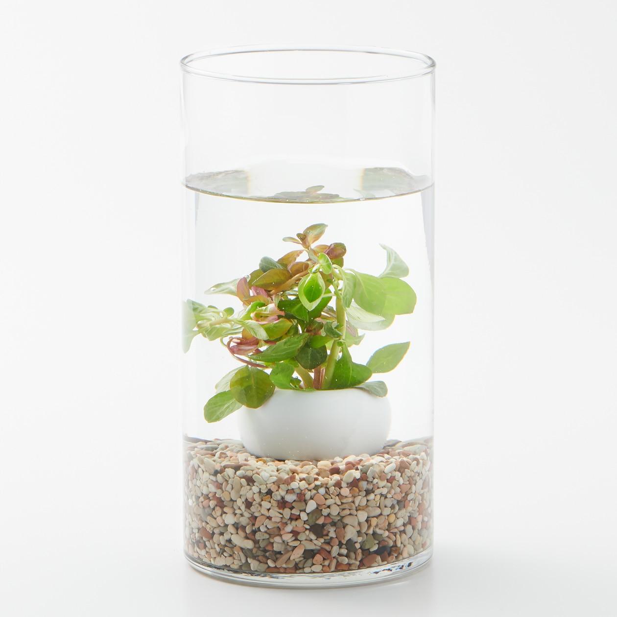 【ネット限定】水中の植物とガラスベースセット ルドウィジアミックス
